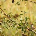 Savannah sparrow (Passerculus sandwichensis) at the East Coyote Unit.- Western Birding Hotspots