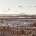 Large flocks of Canada geese at Fern Ridge Wildlife Area, Royal Amazon Unit.- Western Birding Hotspots