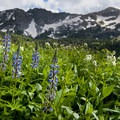 Lupine in Albion Basin.- Wildflower Hikes Near Salt Lake City, Utah