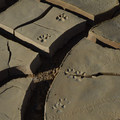 Coyote footprints in the caked mud, Anza-Borrego Desert State Park.- The Ultimate Southwest Deserts Road Trip (CA + AZ)