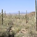 A veritable forest of saguaro cacti.- Trails, Tents + Tacos: Unrivaled Explorations in Tucson, AZ