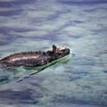 Marine iguana (Amblyrhynchus cristatus) swimming at Tortuga Bay.- Add a Stamp to Your Passport