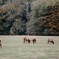 Roosevelt elk bulls jostle for dominance during rut at Jewell Meadows Wildlife Area.- Oregon Fall Adventures