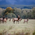 Roosevelt elk at Jewell Meadows Wildlife Area.- Oregon Fall Adventures