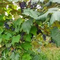 Ripe grapes are tempting, but respect the vineyard and resist eating them. - Finger Lakes Trail: Mitchellsville Gorge