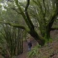 Mount Tamalpais woods.- Mount Tamalpais State Park