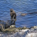 River otters in the lake along Hermitage Point Loop.- 3 Days in Grand Teton National Park