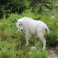 A baby mountain goat at the Highline Trailhead.- Best Hikes to See Mountain Goats