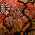 Japanese maple tree at the Japanese Garden.- Best Fall Hikes Near Portland