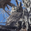Earth Day is, in part, a celebration of the life that we share the planet with. A great horned owl in Rocky Mountain Arsenal National Wildlife Refuge.- Celebrating Earth Day with Action