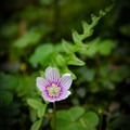 A spring beauty wildflower blooming along the trail. - Rainbow Falls Trail via LeConte Creek