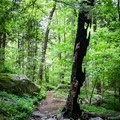A tree that was burned during the 2016 fires is now surrounded with lushness and life. - Rainbow Falls Trail via LeConte Creek