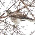 A hawk in Rocky Mountain Arsenal National Wildlife Refuge.- National Wildlife Refuge System