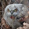 Great horned owl (Bubo virginianus) at Nisqually National Wildlife Refuge.- Western Birding Hotspots