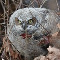 Great horned owl (Bubo virginianus) at Nisqually National Wildlife Refuge.- Winter is for the Birds