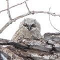 A juvenile great horned owl (Bubo virginianus) in Rocky Mountain Arsenal National Wildlife Refuge.- National Wildlife Refuge System