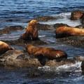 Cattle Point: Steller sea lion (Eumetopias jubatus).- Kayaking in the San Juan Islands