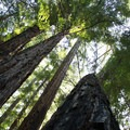 Redwoods at Big Basin Redwood State Park.- Exploring California's State Parks
