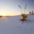 Yucca watch the sunset at White Sands National Monument.- White Sands National Monument