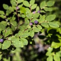 Huckleberries proliferate in the Gifford Pinchot National Forest.- A 3-day Itinerary for the Gifford Pinchot National Forest