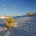 Yucca in White Sands National Monument.- White Sands National Monument