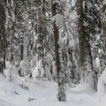 First old-growth cedars on the border of the Alpine Lakes Wilderness.- Great Snowshoeing Near Seattle