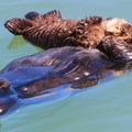 Sea otters in Morro Bay.- Marvel at the Diversity of Western Marine Life