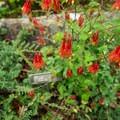 Wild columbine in Sieur de Monts Spring Area.- Acadia National Park