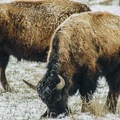 A young bison grazing.- The Wild Solitude of Winter in Yellowstone