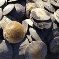 Sand dollars galor at Gearhart Beach.- Oregon's 16 Best Beaches