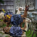 If you hike up to the lodge for a day hike, or if you stay as a guest, be sure to say hello to the llamas if they're there during your visit. - LeConte Lodge