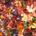 Bigleaf maple (Acer macrophyllum) leaves in Oregon.- The Best Leaf-Peeping Adventures for Fall Foliage