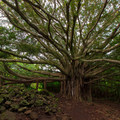 Large banyan tree on the Pipiwai Trail.- 100 Unforgettable Adventures