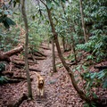 A happy dog runs down the trail.- Yellow Branch Falls