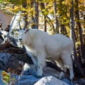 Mountain goats are common around the Enchantments.- Enchantment Lakes Thru-Hike