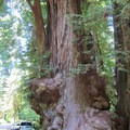 Redwoods dwarfing cars.- Hiking in California's Redwoods
