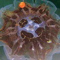 Jellyfish in the water in Friday Harbor.- San Juan Islands