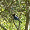 Steller's jay at Lake Anza.- Western Birding Hotspots