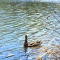 American black duck (Anas rubripes) along the Lake Anza Trail.- Western Birding Hotspots