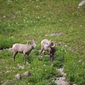 Bighorn sheep near the Highline Trailhead.- Glacier National Park