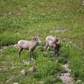 Big Horn Sheep along the trail to the Garden Wall.- A Weekend in Glacier National Park