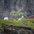 Mountain goats along the Hidden Lake Hanging Garden Trail.- Best Hikes to See Mountain Goats