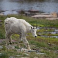 A mountain goat on the Hidden Lake Hanging Garden Trail.- Best Hikes to See Mountain Goats