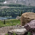 A mountain goat playing hide-and-seek on the Hidden Lake Hanging Garden Trail.- Best Hikes to See Mountain Goats