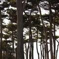 Monterey cypress (Cupressus macrocarpa) at Lands End.- Adventure in the City: San Francisco