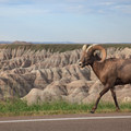 Bighorn sheep are seen throughout the park, even along the road.- Badlands National Park