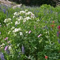 The white flower is cow parsnip, the pink flower is sticky geranium, the red flower is Indian paintbrush, and the purple flower is lupine.- A Weekend in Little Cottonwood Canyon