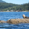 Seals on the rocks along the Obstruction Island paddle.- San Juan Islands