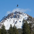 A raptor flies over Lassen Volcanic National Park.- 16 Best Adventures for Viewing California Wildlife