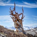 Picturesque bristlecone pine along the Discovery Trail.- Ralph Waldo Emerson: Nature and the Soul